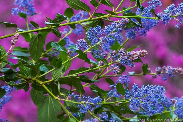 Ceanothus 'Ray Hartman' - California Wild Lilac, blue flowering native shrub