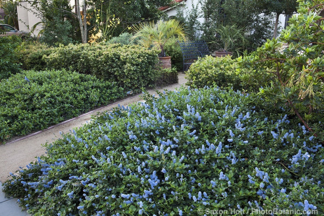 Entry path between Ceanothus groundcovers in Southern California front yard native plant garden
