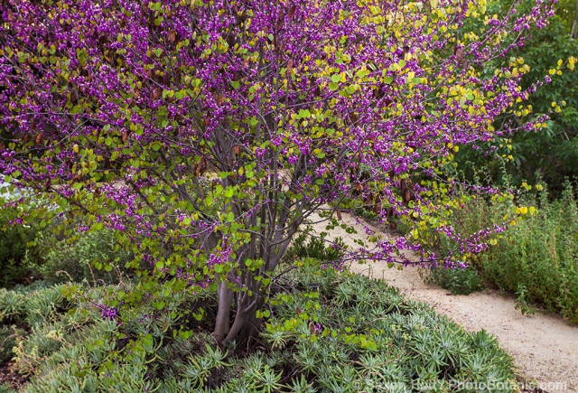 Flowering Western Redbud tree (Cercis occidentalis) with groundcover succulents Catalina Island Live Forever (Dudleya virens hasseii) by path in Southern California, drought tolerant native plant garden