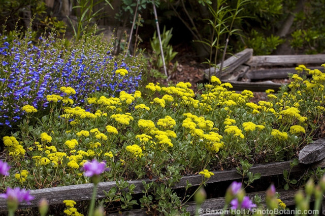 Flower bed of yellow Sulfer Buckwheat (Eriogonum umbellatum) and Blue Bedder Penstemmon edged by short wooden rail fence in Kyte California native plant garden