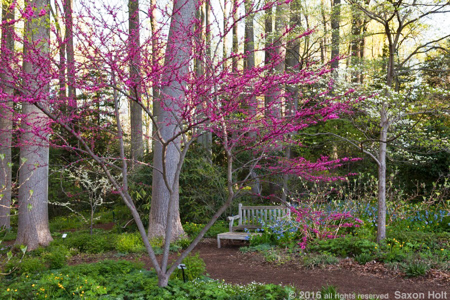 Redbud tree flowering by pathway to woodland garden