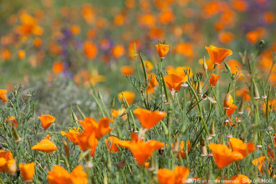 Eschscholzia californica, Orange flowering California poppy