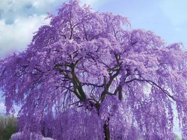 b5dfe344aec4816e32521290d7ae1152.jpg-Jacaranda Tree from Pinterest.jpg-640x456 pinterest