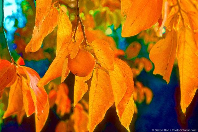 Diospyros virginiana-American persimmon tree in fall color