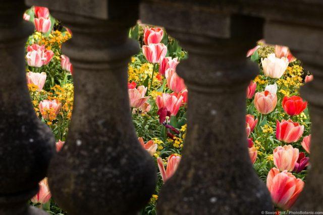 Spring tulip bed seen through balustrade, Filoli Garden in spring, California