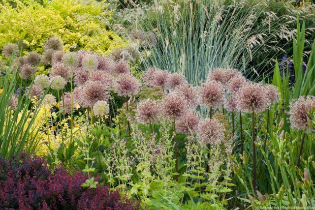Seedhead of flowering bulb, ornamental onions (Allium) in waterwise mixed border demonstration garden at Bellevue Botanic Garden, Washington