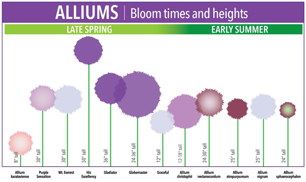 allium-bloom-time-and-size-chart-re-sized
