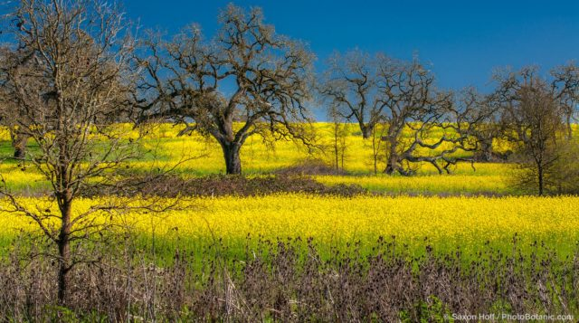 Yellow mustard spring wildflowers in Sonoma County California field with dormant Oak trees (Quercus lobata)