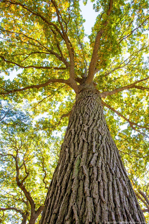 Quercus bicolor - Swamp White Oak tree; Arnold Arboretum