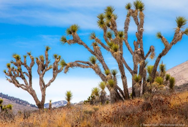 Joshua Tree succulents, Yucca Palm (Yucca brevifolia), Walker Pass Road, Mojave Desert in Southern California