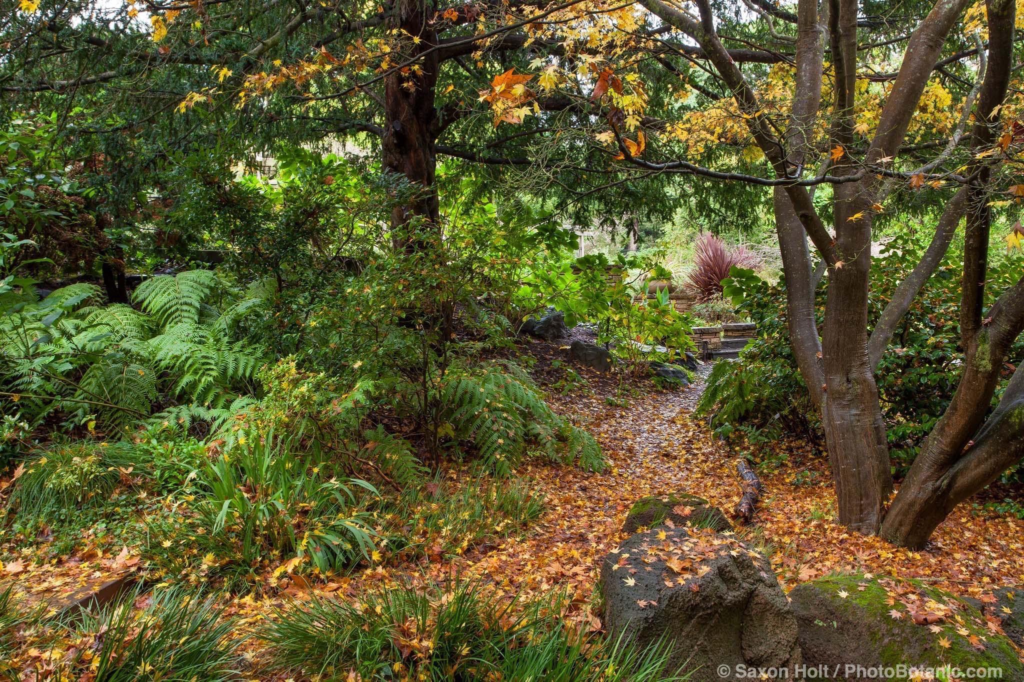 Acer palmatum, Japanese Maple tree autumn leaves on path among ferns in San Francisco Botanical Garden