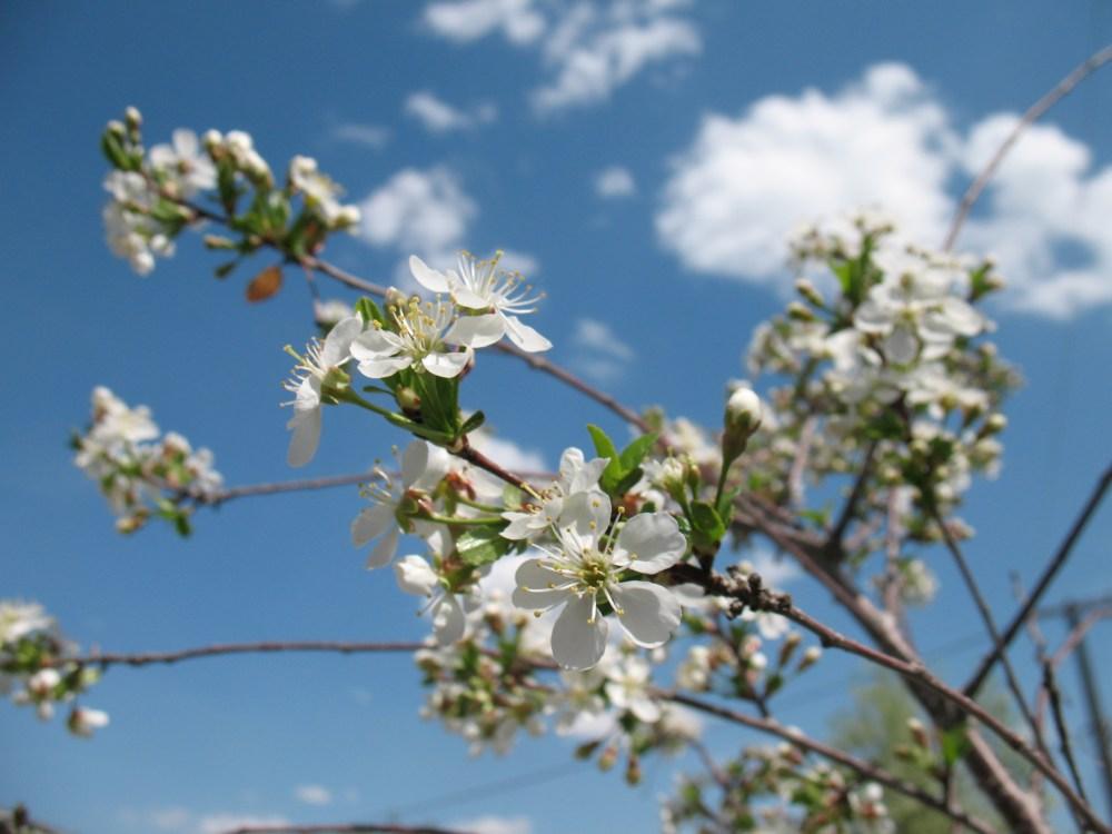 Carmine Jewel Cherry: A True Jewel of a Fruit Tree (3/4)
