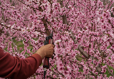 tree pruning and proper trimming of flowering tree
