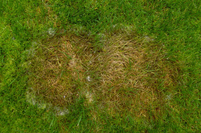 Fusarium wilt patch in grass lawn