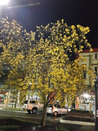 Our native Kowhai Tree (Sophora microphylla) in full glory