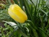 The last tulip