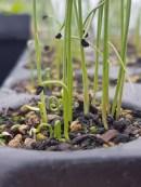 Leek seedlings