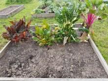 Rainbow beet chard
