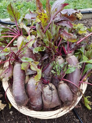 Harvest beetroot