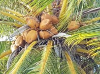 Coconuts in the tree
