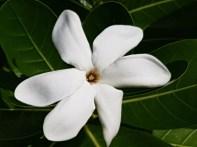 Tiare Flower (Gardenia Tahitensis)