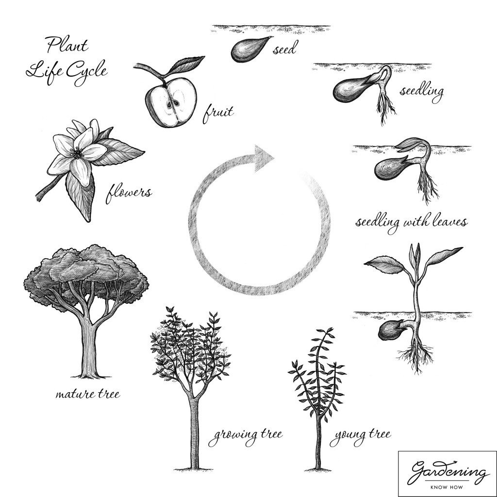 Basic Plant Life Cycle And The Life Cycle Of A Flowering Plant