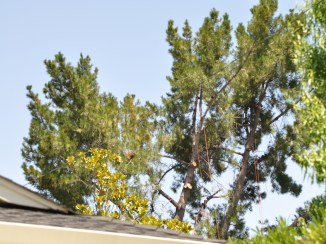 Pine tree viewed from one street over