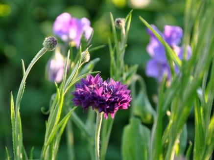 Magenta cornflowers