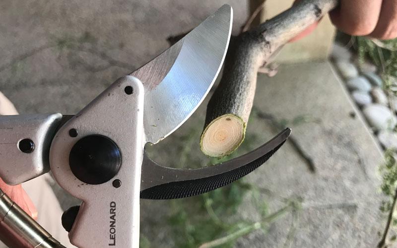 AM Leonard Bypass Pruner cutting wood