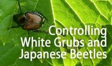 Controlling White Grubs and Japanese Beetles in the Home Garden