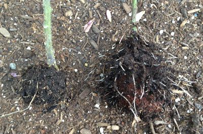 strong new roots on Peel Away Pot seedlings