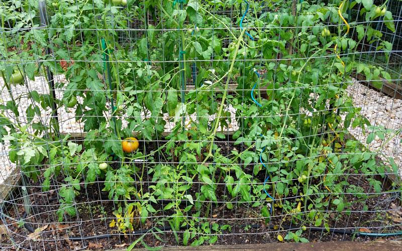 Snip-n-drip used to grow tomatoes