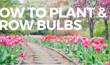 How to Plant and Grow Bulbs