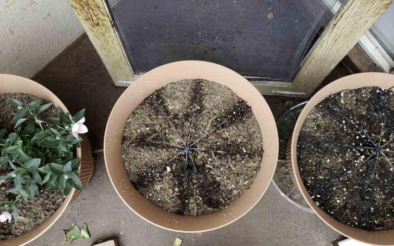 daisy rain sprinkler pots with cucumber seeds