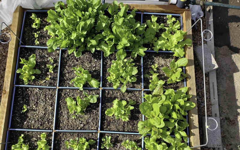 garden in minutes lettuce plants