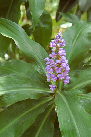 Blue ginger flower and foliage