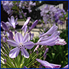 Purple flowers of agapanthus