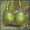 Two smooth-skinned bright green avocados hanging from tree