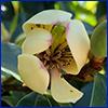 Banana shrub flower is creamy white with waxy petals