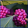 Bright purple fruits of beautyberry on stem
