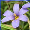 Purple-blue flower of blue-eyed grass with yellow center