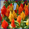 Orange and yellow flower spikes of celosia