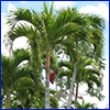 The tops of several Christmas palms with blue sky