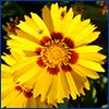 Yellow flower of coreopsis