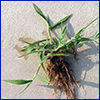 An uprooted clump of crabgrass