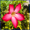 Bright pink trumpet shaped flower with five petals