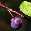 Tiny dark purple fruit of flatwoods plum