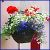 Brightly colored flowering plants in a hanging basket