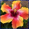 A brightly colored hibiscus with orange, yellow, and red in the petals