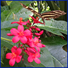 The fuchsia-red flowers of jatropha with a black and yellow butterfly